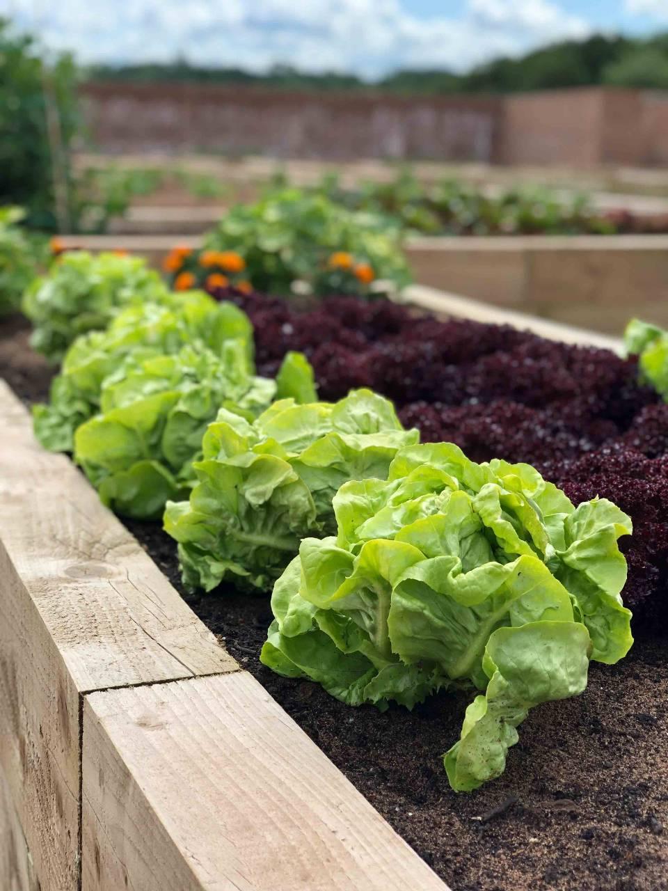 Rockliffe Hall Kitchen Garden Produce
